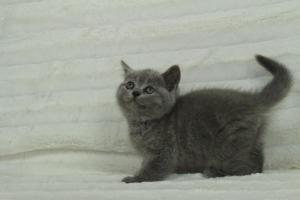 koty brytyjskie niebeiskie krótkowłose-Roma (12)