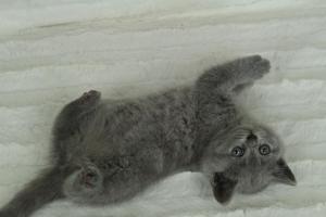 koty brytyjskie niebeiskie krótkowłose-Roma (14)