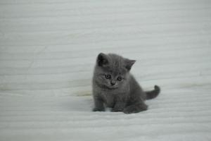 koty brytyjskie niebeiskie krótkowłose-Roma (2)