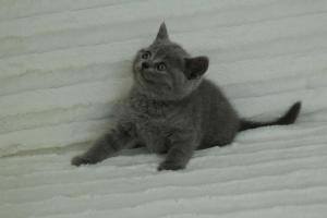 koty brytyjskie niebeiskie krótkowłose-Roma (23)