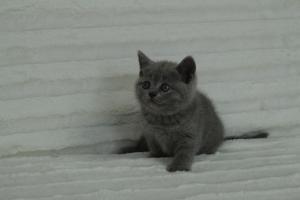 koty brytyjskie niebeiskie krótkowłose-Roma (24)