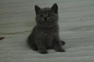 koty brytyjskie niebeiskie krótkowłose-Roma (25)