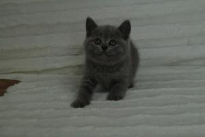 koty brytyjskie niebeiskie krótkowłose-Roma (28)