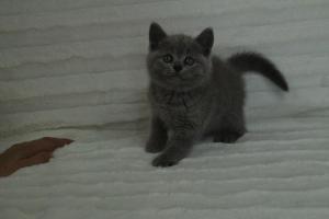 koty brytyjskie niebeiskie krótkowłose-Roma (29)