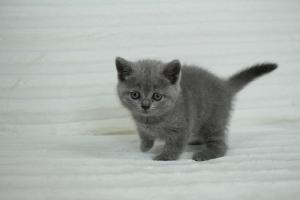 koty brytyjskie niebeiskie krótkowłose-Roma (3)