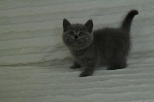 koty brytyjskie niebeiskie krótkowłose-Roma (30)