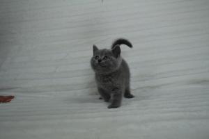 koty brytyjskie niebeiskie krótkowłose-Roma (4)