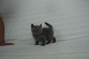 koty brytyjskie niebeiskie krótkowłose-Roma (5)