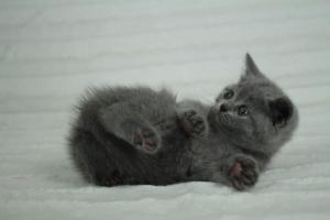 koty brytyjskie niebeiskie krótkowłose-Roma (8)