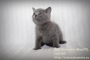 Koty brytyjskie niebieskie Sam