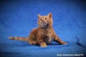odys rude koty brytyjskie
