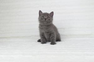koty brytyjskie niebieskie krótkowłose Pepe (10)