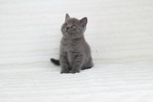 koty brytyjskie niebieskie krótkowłose Pepe (14)