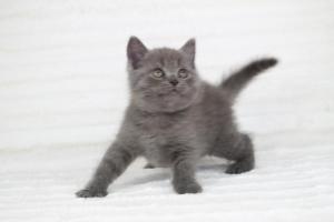 koty brytyjskie niebieskie krótkowłose Pepe (17)