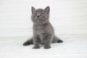 koty brytyjskie niebieskie krótkowłose Pepe (19)