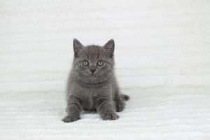 koty brytyjskie niebieskie krótkowłose Pepe (20)