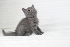 koty brytyjskie niebieskie krótkowłose Pepe (23)