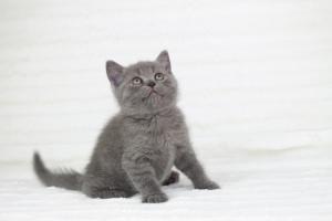koty brytyjskie niebieskie krótkowłose Pepe (28)