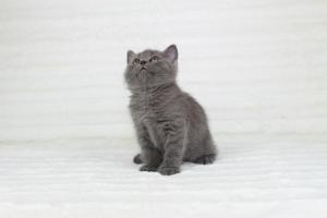 koty brytyjskie niebieskie krótkowłose Pepe (3)