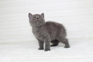 koty brytyjskie niebieskie krótkowłose Pepe (5)