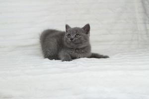 koty brytjskie niebieskie krótkowłose Piksel (1)