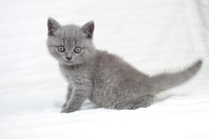 koty brytjskie niebieskie krótkowłose Piksel (11)