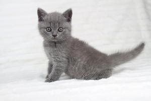 koty brytjskie niebieskie krótkowłose Piksel (12)