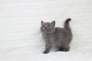 koty brytjskie niebieskie krótkowłose Piksel (14)