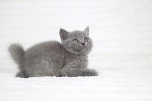 koty brytjskie niebieskie krótkowłose Piksel (15)