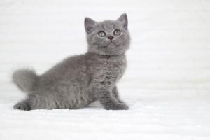 koty brytjskie niebieskie krótkowłose Piksel (17)