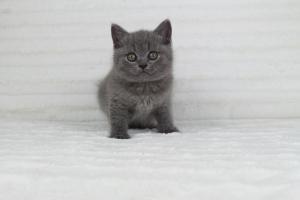 koty brytjskie niebieskie krótkowłose Piksel (19)