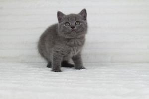 koty brytjskie niebieskie krótkowłose Piksel (20)