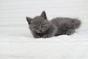 koty brytjskie niebieskie krótkowłose Piksel (25)