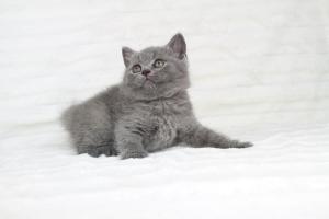 koty brytjskie niebieskie krótkowłose Piksel (5)