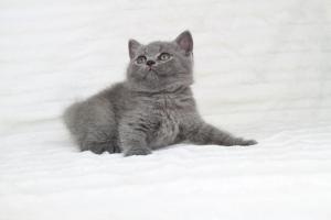 koty brytjskie niebieskie krótkowłose Piksel (6)